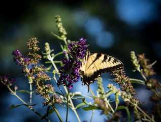Butterflies (1)