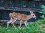fawns-2