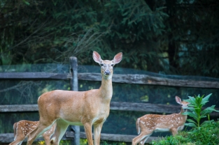fawns-3