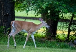 fawns-6