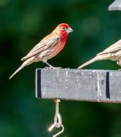 redbirds-2
