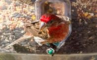 redbirds-5