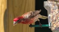 redbirds-6