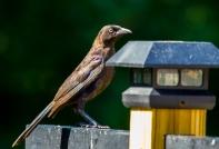 redbirds-7