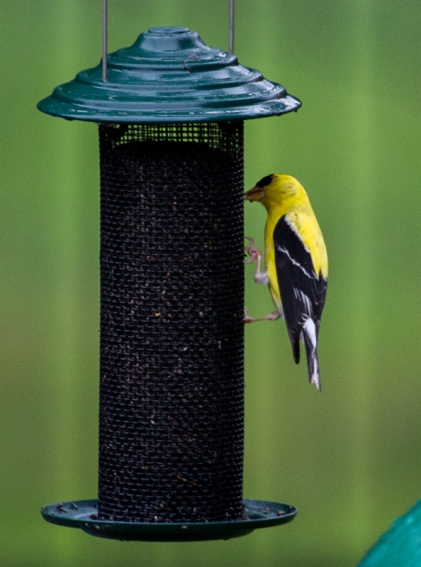 yellowFinch-3