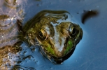 Frogs-5
