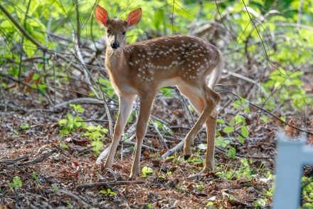 FathersDay2016Fawns-4