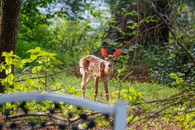 FathersDay2016Fawns