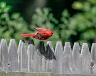 Cardinals-4