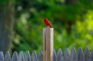 Cardinals-5