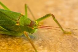 GreenBug-2