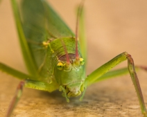 GreenBug-3