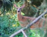 Backyard Deer In the wood