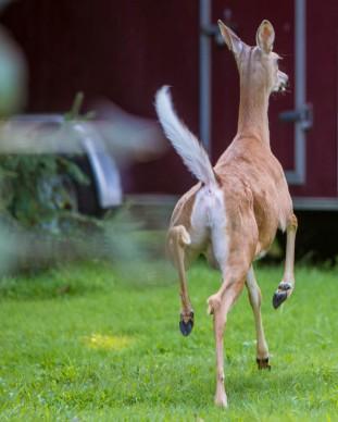 Backyard Deer Prancing