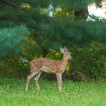 Backyard Deer Fawn