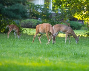 Backyard Deer Moms & Baby