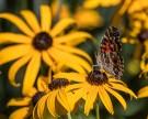Butterflies Backyard Butterflies