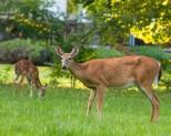 Backyard Deer Mom n Baby