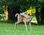 Backyard Deer Scratching