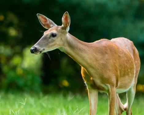 Backyard Deer Wiskers